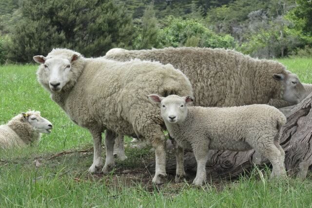 Photo of a family of sheep in a field | Sheep Jokes | Quizzy Kid